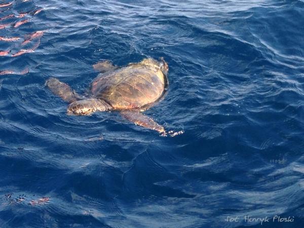 Gość na treningu - żółw Careta Careta